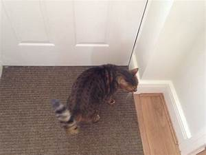 Male brown spotted Bengal cat | Chertsey, Surrey | Pets4Homes