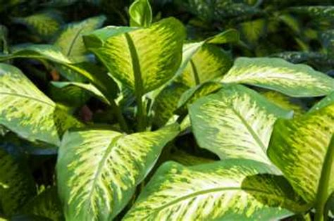 house plants with big leaves large leaf tropical house plants images
