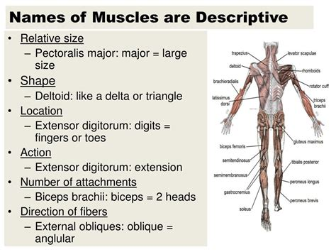 How skeletal muscles are named? Pectoral Muscle Names : Major Muscles Song Anatomy ...
