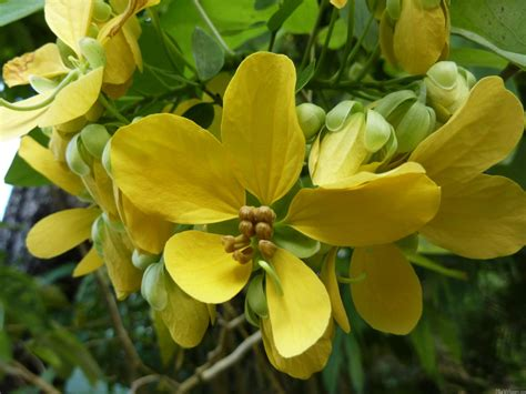 golden shower mlewallpapers golden shower tree