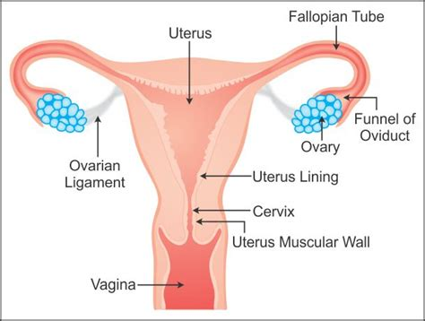 draw a well labelled diagram of female reproductive system ...