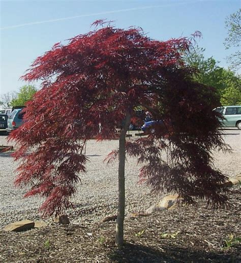 weeping japanese maple varieties acer palmatum dissectum atropurpureum ornatum weeping purple japanese maple blerick trees buy