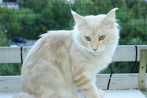do maine coons shed in the summer file maine coon guardian of canadian summer 8 months