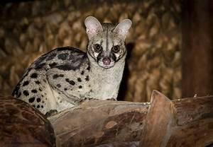 Elsen Karstad's 'Pic-A-Day Kenya': Genet Cat- Laikipia Kenya
