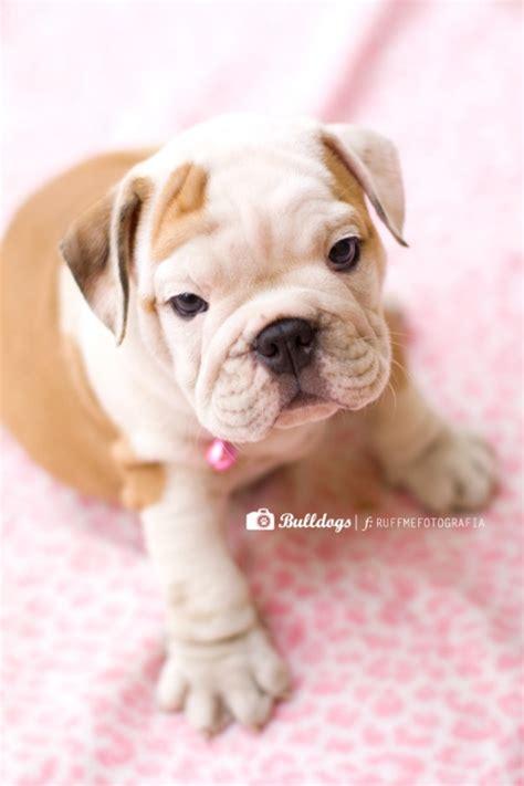 cute bulldogs ideas  pinterest bulldog