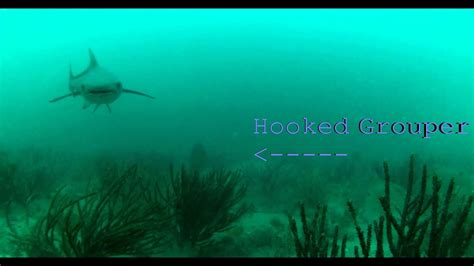 underwater shark grouper attacks