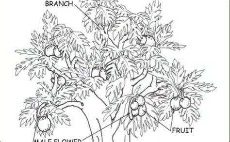 resources breadfruit national tropical botanical garden