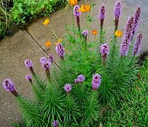 Liatris Spicata Kobold : donald 39 s organic texas garden 07 03 13 ~ Watch28wear.com Haus und Dekorationen