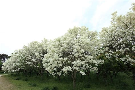 Attractive Ornamental Flowering  Ee  Trees Ee   Root Simple