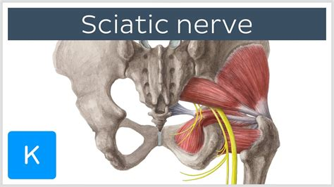 sciatic nerve   clinical significance human