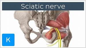 Sciatic Nerve  Course And Clinical Significance