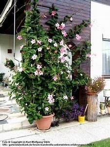 Gitterwand Für Pflanzen : rosa madnevilla kletterpflanzen bl ten sommer saison sch ne garten ideen garten blumen und ~ Markanthonyermac.com Haus und Dekorationen