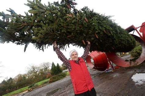 shirley company growing forty foot christmas trees