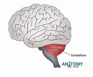 Cerebellum Anatomy  Structure  Function  Pictures  Diagrams