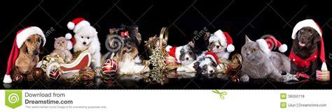 group dog  cat  kitens wearing  santa hat stock