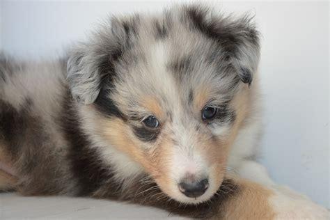 Free P O Puppy Pup Puppy Shetland Sheepdog Dog Onyx Max Pixel