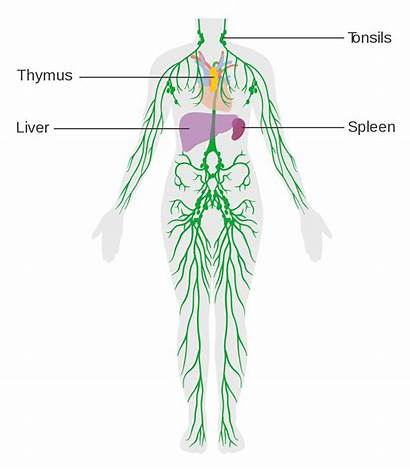 Lymphatic System Lymph Diagram Immune Svg Cruk