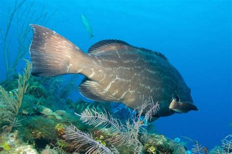 grouper site mote scientist spawning kaitlyn identifies marine fusco february