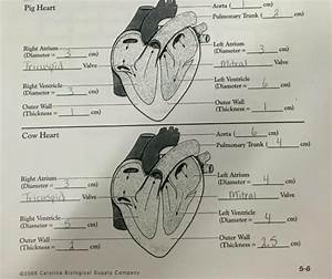 Heart Anatomy  Heart Dissections  Heart Labeling