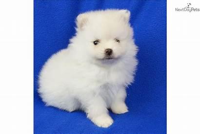 Pomeranian Puppy Near Teacup Dogs