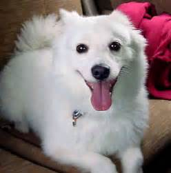 toy american eskimo dog breeds photos and videos list of
