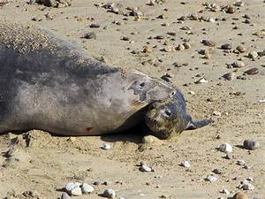 Where and When to See Elephant Seals at Point Reyes (U.S ...