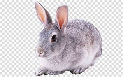 Cottontail Rabbit Clipart Rabbits Hares Mountain Hare