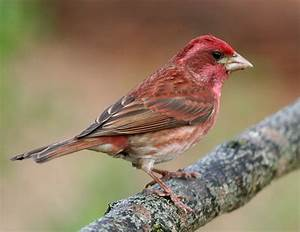 How To Tell Apart Purple Finches And House Finches  U2014 Red