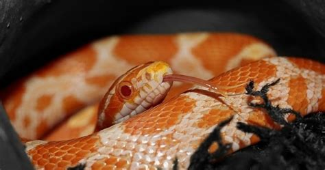 Corn Snake Shedding Time by Corn Snakes Everything You Need To