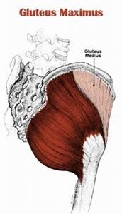 The Definitive Guide To Gluteus Maximus Anatomy  Exercises  U0026 Rehab
