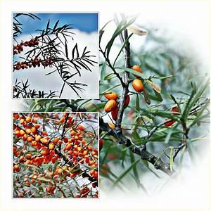 Sanddorn Pflanzen Kaufen : sanddorn foto bild natur pflanzen sanddorn bilder auf fotocommunity ~ Eleganceandgraceweddings.com Haus und Dekorationen