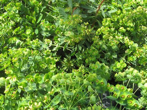 euphorbia ground cover online plant guide euphorbia martinii waleutiny tiny tim spurge