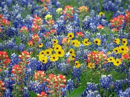colorful wildflowers pictures   images
