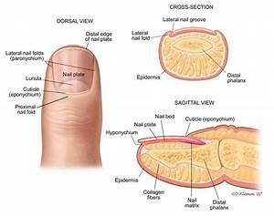 Finger Nail Anatomy
