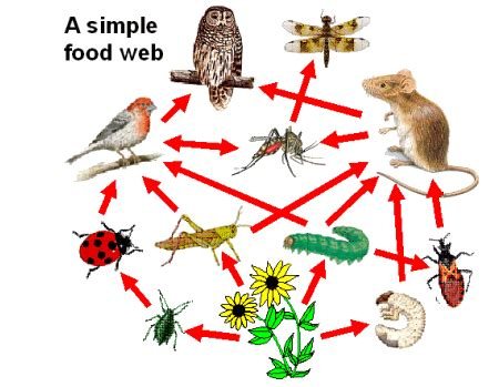 web cuisine the energy paths through the living organisms in the food