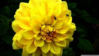 Yellow Flower Wallpapers Definition Backgrounds Wallapaper Background