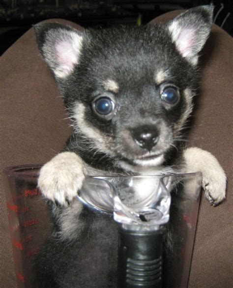 For Sale Toy Pom X Mini Foxie Toy Chihuahua