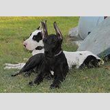 White German Shepherd Lab Mix Puppies   800 x 552 jpeg 182kB