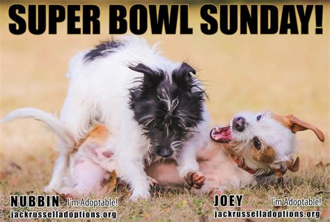 Super Bowl Sunday Meme - georgia jack russell rescue adoption and sanctuary nubbin