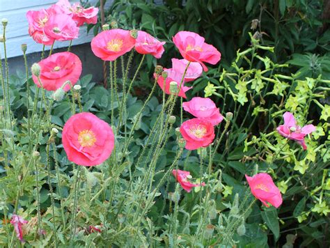 growing poppies growing poppies in the garden