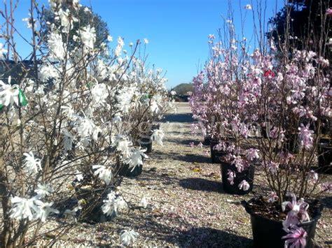 magnolia in vaso magnolia soulangeana produzione e vendita greggio vivai