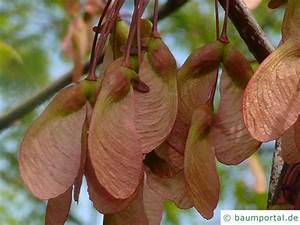 Ahorn Frucht Name : rot ahorn acer rubrum ~ Frokenaadalensverden.com Haus und Dekorationen