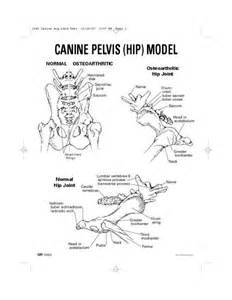 Canine Pelvis Anatomy