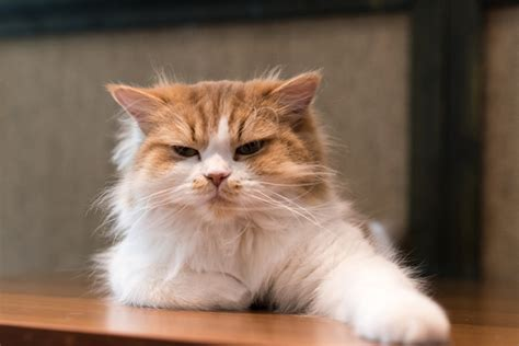 Symptoms And Treatments For Arthritis In Cats Catster