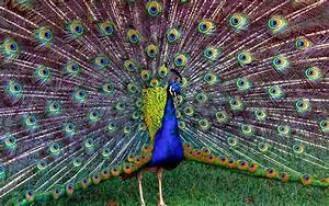 Most Beautiful Peacock Dancing Wallpapers | HD Wallpapers ...