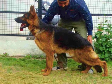 german shepherd puppies  salegurinder singh assal