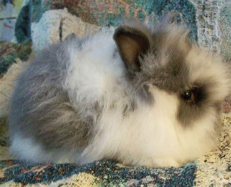 broken blue lionhead rabbit broken is the color pattern