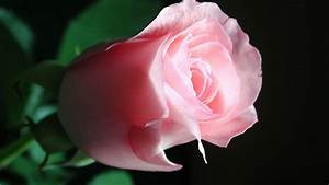 Beautiful Pink Rose - High Definition Wallpapers - HD ...