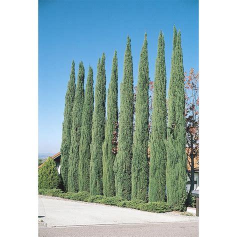 lowes cypress shop 3 25 gallon blue italian cypress tree l9606 at lowes com