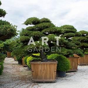 Arbre En Nuage : arbre nuage d exception pour jardin r sistant qualit pentaphylla ~ Melissatoandfro.com Idées de Décoration